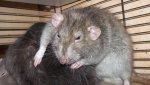 lazy_rat_by_op_girl16-da191o9.jpg