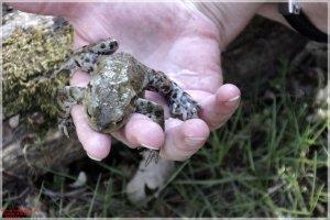 Frösche - Erdkröte (41).JPG