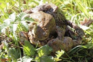 Frösche - Erdkröte (48).JPG