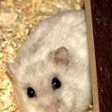 Hamster Liegt Im Sterben