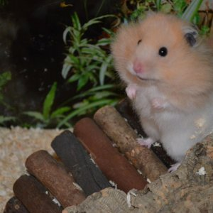 Chihiros reise ins zauberland hamster
